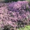 erica-carnea-loughridgg-plant2