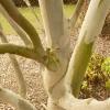 eucalyptus-pauciflora-ssp-niphophilia-detail1