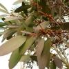 eucalyptus-pauciflora-ssp-niphophilia-detail2