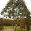 eucalyptus-pauciflora-ssp-niphophilia