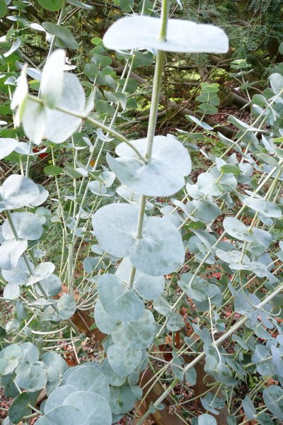 how to take care of eucalyptus plant