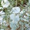 eucalyptus-pulverulenta-stem2