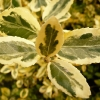 euonymus-fortunei-emerald-n-gold-leaf1