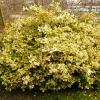 euonymus-fortunei-emerald-n-gold-plant1