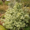 euonymus-fortunei-emerald-gaiety-plant1
