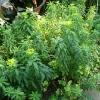 euphorbia-polychroma-major-plant1