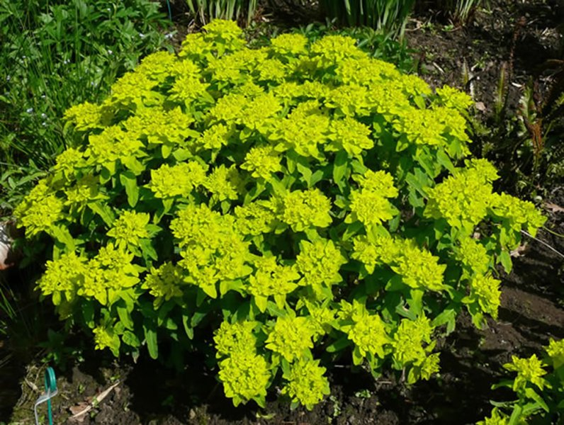 Euphorbia polychroma midas plants oak leaf gardening