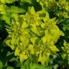 euphorbia-polychroma-midas-flower1