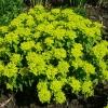 euphorbia-polychroma-midas-plant1
