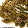 fasciation2-on-cryptomeria-japonica