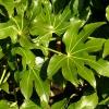 fatsia-japonica-leaf1