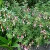 fuchsia-checkerboard-plant1