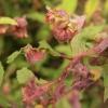 fuchsia-gall-mite-3