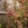 fuchsia-gall-mite-4