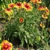 gaillardia-x-grandiflora-kobold-plant