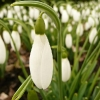 galanthus-atkinsii-flower1