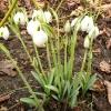 galanthus-desdemona-plant1