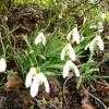 galanthus-magnet-plant1