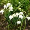 galanthus-nivalis-flora-pleno-plant1