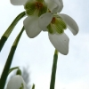 galanthus-straffan-flower1