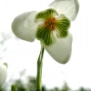 galanthus-nivalis-flower1