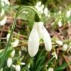 galanthus-nivalis-flower2