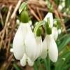 galanthus-nivalis-flower3