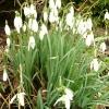 galanthus-nivalis-plant1