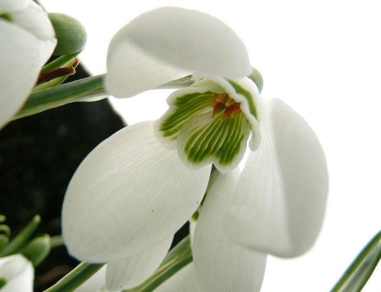 Résultat d'images pour galanthus samuel arnott