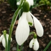 galanthus-s-arnott-flower1