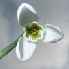 galanthus-s-arnott-flower4