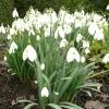 galanthus-s-arnott-plant1