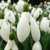 galanthus-sam-arnott-flower3