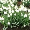 galanthus-sam-arnott-plant1