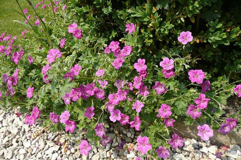 Geranium x riversleaianum 'Russell Prichard' – Plants ...