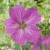 geranium-russell-prichard-detail-1