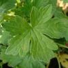 geranium-russell-prichard-detail-2