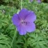 geranium-spinners-flower1