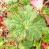 geranium-wallicianum-buxtons-variety-leaf1
