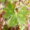 geranium-wallicianum-buxtons-variety-leaf2
