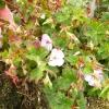 geranium-wallicianum-buxtons-variety-plant1