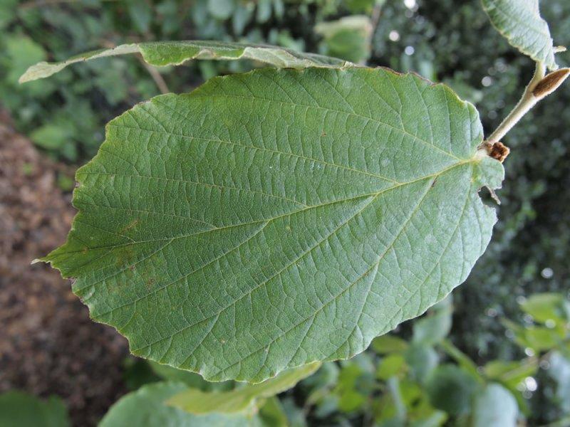 Hamamelis Mollis Wisley Supreme Plants Oak Leaf Gardening