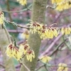 hamamelis-mollis-wisley-supreme-flower1