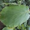 hamamelis-mollis-wisley-supreme-leaf1