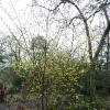 hamamelis-mollis-wisley-supreme-plant1