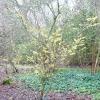 hamamelis-x-intermedia-arnold-promise-plant1