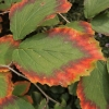 hamamelis-x-intermedia-hiltingbury-leaf1