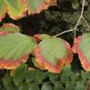 hamamelis-x-intermedia-hiltingbury-leaf2
