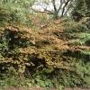 hamamelis-x-intermedia-hiltingbury-plant1-2