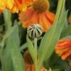 helenium-sahins-early-flowerer-bud1